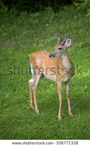 Whitetail buck that has left a dark forest and is in a clearing - stock photo