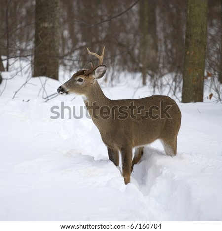 whitetail buck that has lost an antler in winter
