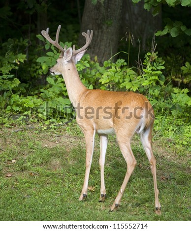 Whitetail buck with antlers in velvet looking at something in the dark forest - stock photo
