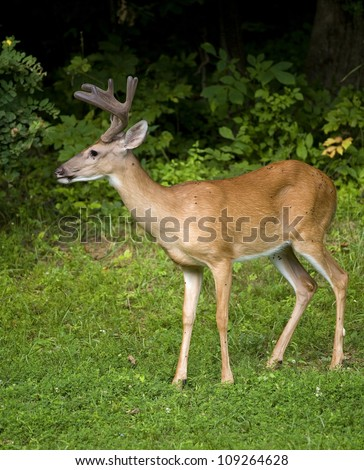 Whitetail buck with its antlers in velvet next to a dark forest - stock photo