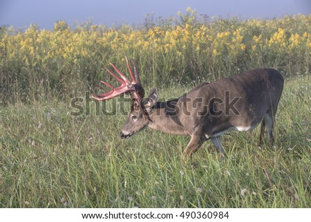 Whitetail buck with large rack walking through a field on a foggy morning.