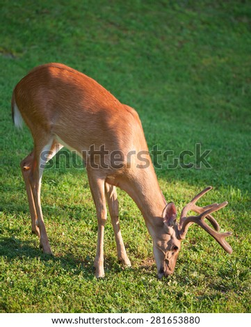 Whitetail buck with velvet antlers that is eating - stock photo