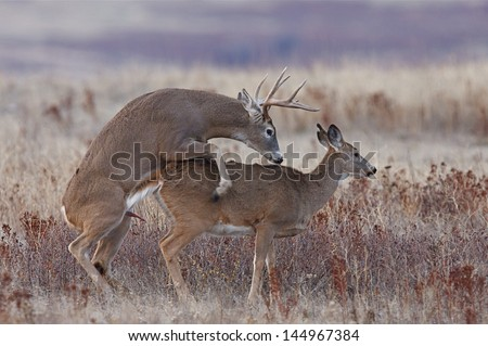 Whitetail Deer Buck and Doe breeding having sex mating during the November rut, which is during deer hunting season. - stock photo