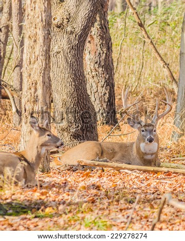 Whitetail Deer Buck bedded down in the woods tending a doe in heat. - stock photo