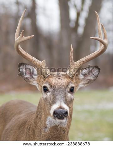 Whitetail Deer Buck close up head shot. - stock photo