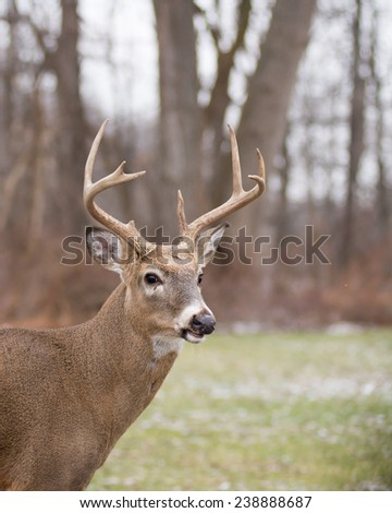 Whitetail Deer Buck close up head shot.