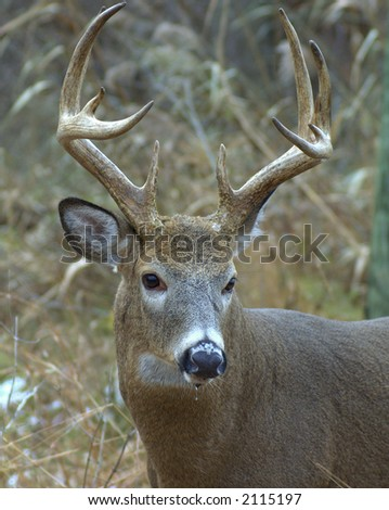 Whitetail deer buck closeup head shot
