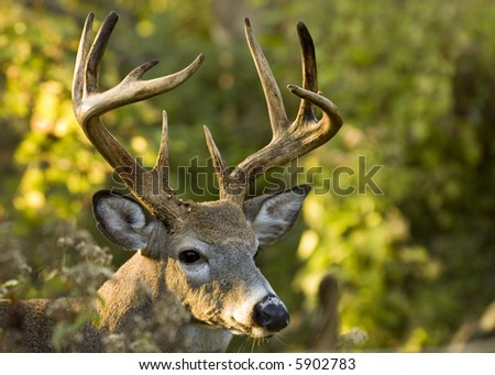 Whitetail deer buck head-shot.
