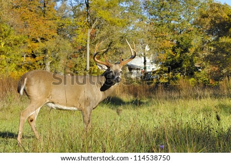 Whitetail Deer Buck in the middle of a field.