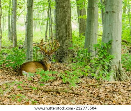 Whitetail Deer Buck In Velvet bedded down in the woods. - stock photo