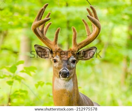 Whitetail Deer Buck In Velvet standing in the woods. - stock photo