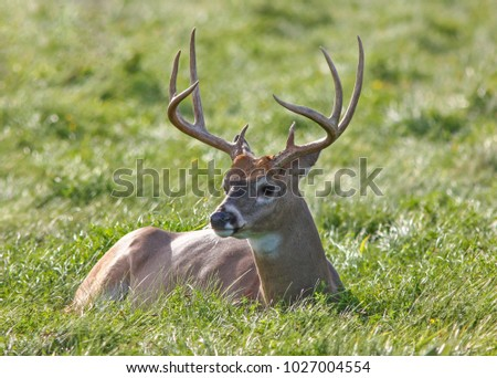 Whitetail deer buck laying in a green field.