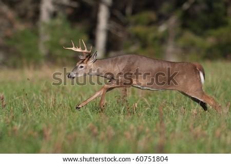 Whitetail deer buck running through a field - stock photo