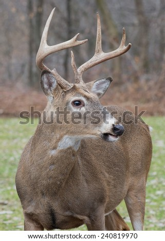 Whitetail Deer Buck standing in an open field. - stock photo