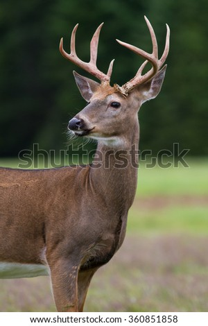 Whitetail deer buck standing in an open field.