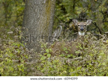 Whitetail deer doe at woods edge.