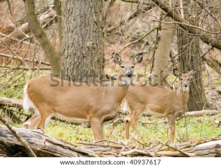 Whitetail deer doe standing in the woods with yearling.