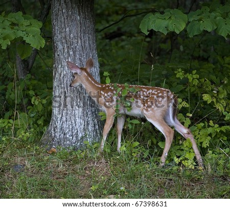 whitetail deer fawn checking out a noise in the forest