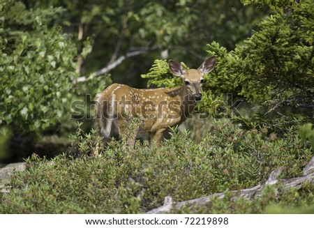 Whitetail deer fawn looking up - stock photo