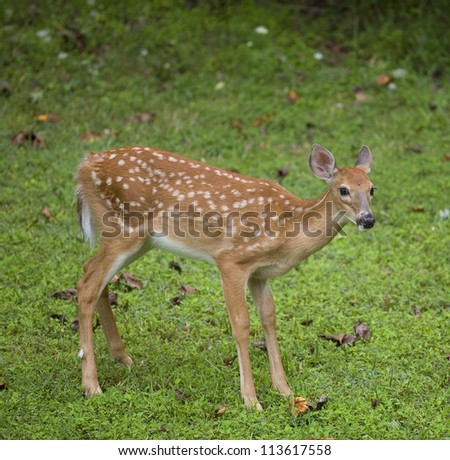 Whitetail deer fawn still in spots near the edge of a green field - stock photo