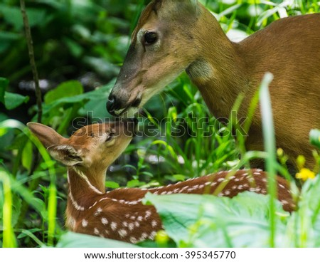 Whitetail deer fawn with mother - stock photo
