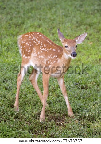whitetail deer fawn with spots on a grassy field - stock photo