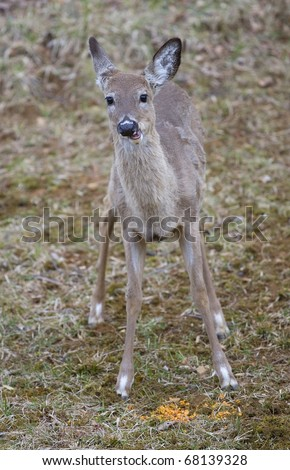whitetail deer having trouble chewing some corn - stock photo