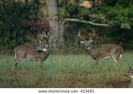 Whitetail deer in a meadow
