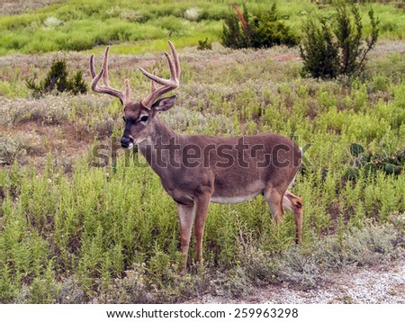 Whitetail deer in Texas ranchland - stock photo