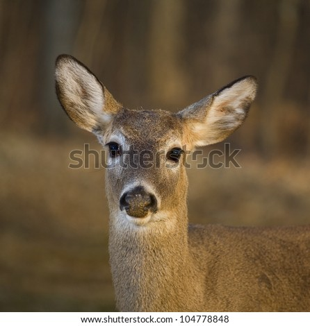 Whitetail deer looking straight into the camera in front of a winter forest