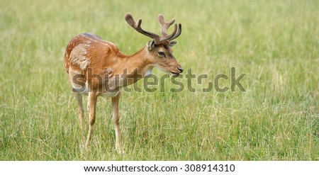 Whitetail Deer standing in summer meadow - stock photo