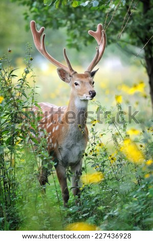 Whitetail Deer standing in summer wood - stock photo