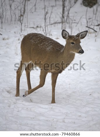 whitetail deer that is walking in the snow