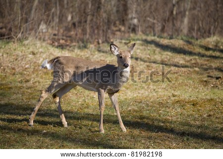 whitetail deer that looks like it is winking