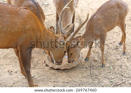 whitetail deer yearlings eating - stock photo