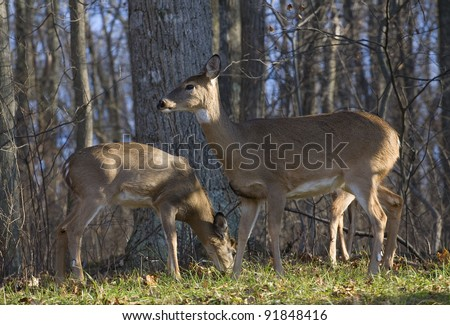 Whitetail doe with a pair of yearlings near a forest edge