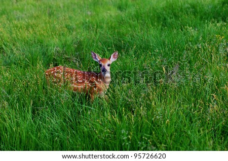 Whitetail Fawn Walking in Green Meadow - stock photo