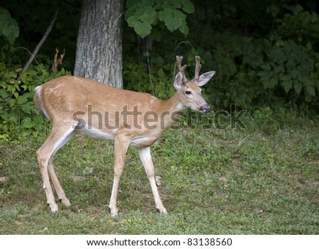 Whitetail with antlers in velvet coming from a dark forest - stock photo