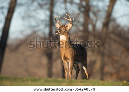 Whitetailed deer buck in a meadow in Jefferson Barracks National Cemetery near St. Louis, Missori
