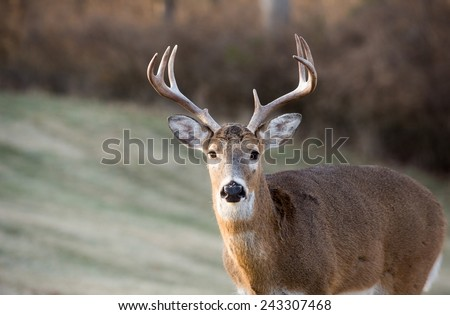 Whitetailed deer buck in a meadow in Jefferson Barracks National Cemetery near St. Louis, Missouri - stock photo