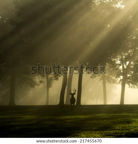 Whitetailed deer buck silhouetted on a foggy morning in Jefferson Barracks National Cemetery in St. Louis, Missouri. - stock photo