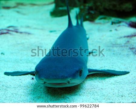 Whitetip reef shark - stock photo