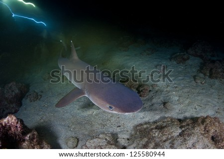Whitetip reef sharks (Triaenodon obesus) hunt small reef fish at night on a rocky reef near Cocos Island, Costa Rica.  This area is known for its many sharks. - stock photo