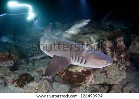 Whitetip reef sharks (Triaenodon obesus) sleep during the day.  At night these nocturnal hunters will spread out to search for prey on the surrounding reef off Cocos Island, Costa Rica. - stock photo