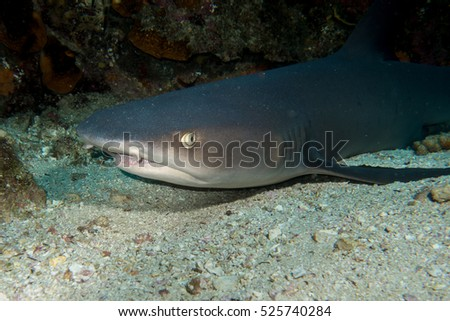 Whitetip Shark in Cocos Island Costa Rica