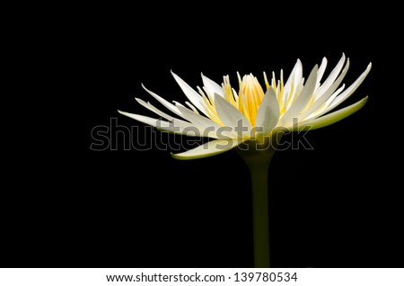 WhiteTropical waterlily on black - stock photo