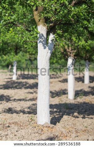 Whitewashed plum trees for protection