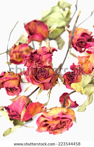 Whithered roses on white background. - stock photo