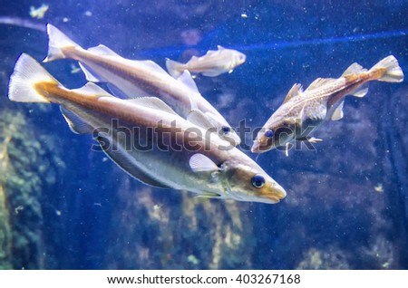 Whiting with cod - underwater sea life - stock photo