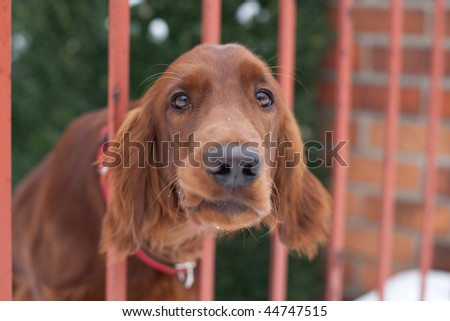 Who goes there!? - very cute guard dog poking his head through the fence and looking you up and down - stock photo